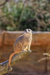 Sitzendes Erdmännchen im Zoo