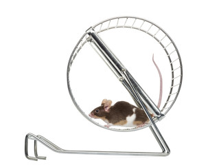 Side view of a Common house mouse running in a wheel
