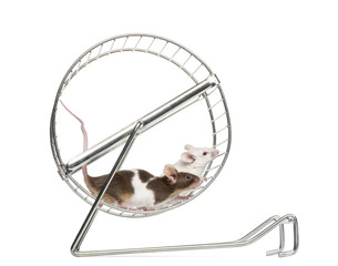 Side view of Common house mice playing in a wheel, Mus musculus
