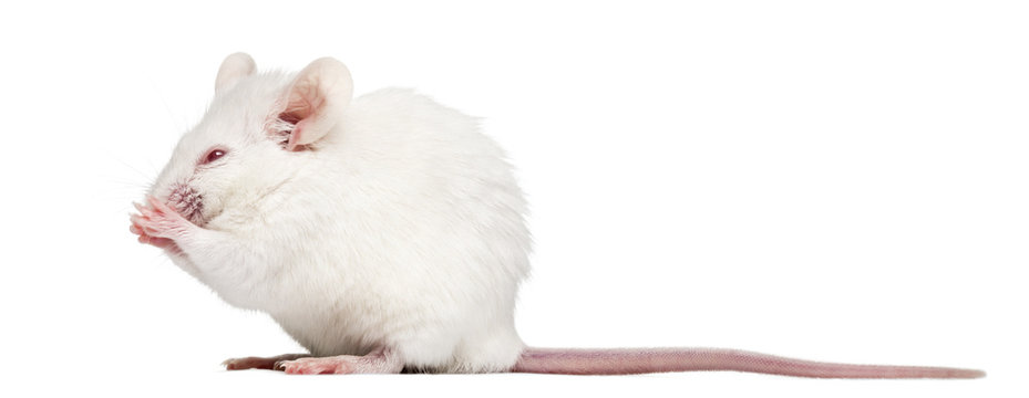 Side view of an albino white mouse having a wash, Mus musculus