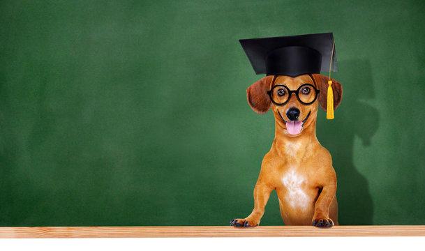 dog wearing mortar board on green board background