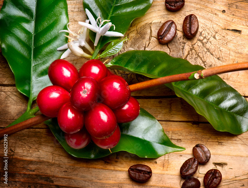 Wall mural Coffee Plant. Red coffee beans on a branch of coffee tree