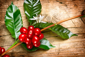 Wall Mural - Coffee Plant. Red coffee beans on a branch of coffee tree