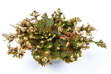 Rose of Jericho (Selaginella lepidophylla), False