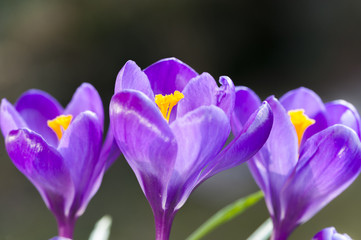crocus blossoms