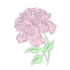 Romantic hand drawn peony flower.Vector illustration/EPS 8
