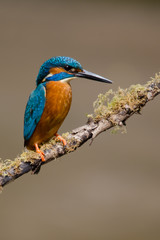 Fototapete - UK Wild Kingfisher