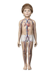 anatomy of a young child - vascular system