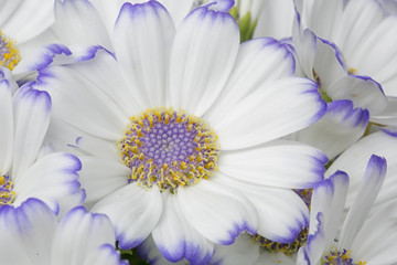 White and purple daisies.Macro.Spring background.