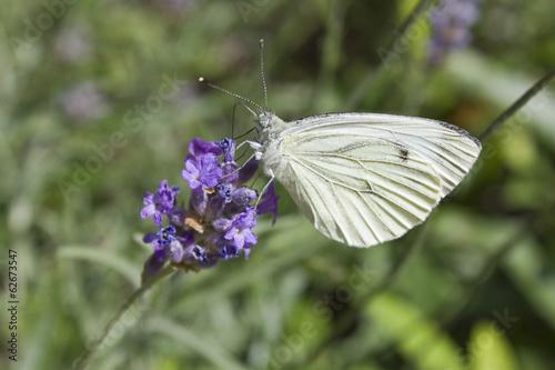 Papillon blanc butine fleur violette photo libre de droits sur la banque d 39 images - Image fleur violette gratuite ...