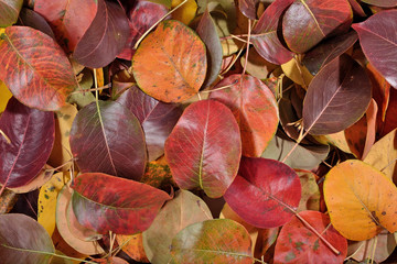 Fallen autumn leaves of pear