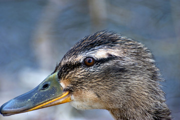 Close up of female Mallard head