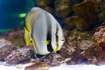 Orbicular batfish (Platax orbicularis) in deep blue Red Sea
