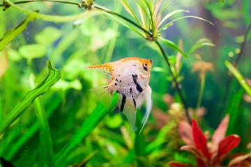 A green beautiful planted tropical freshwater aquarium
