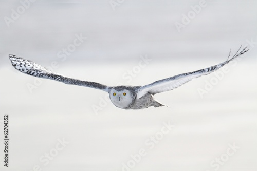 Wall mural Snowy Owl (Bubo scandiacus)
