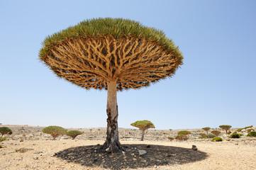 Yemen. Socotra island. Dragon tree