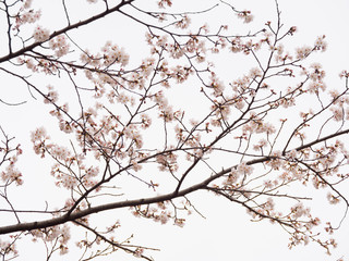 Yoshino cherry tree branch in full bloom in the sky background