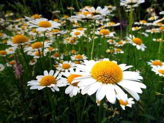 Daisy flowers in garden - spring meadow