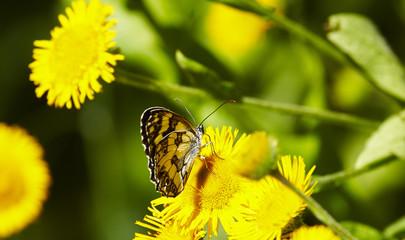 Macro yellow daisy flower (Pulicaria dysenterica)