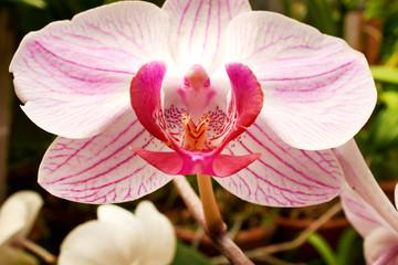 Wall Mural - Beautiful  orchid - phalaenopsis