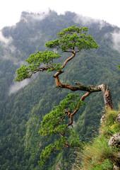 Old pine in Sokolica, Poland Mountains,