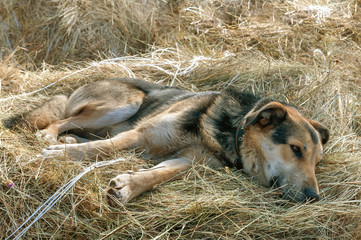 german shepherd dog laying on one's beam ends on the hay