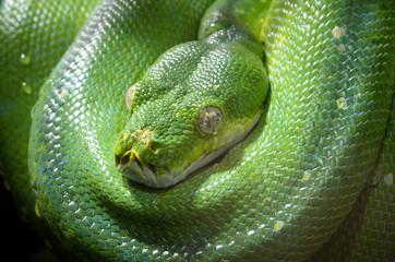Tree Viper