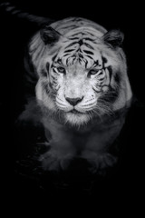 Wall Mural - White Tiger