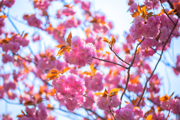 Booming double cherry blossom branches