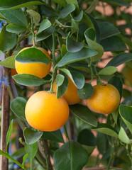 Fresh orange on orange tree