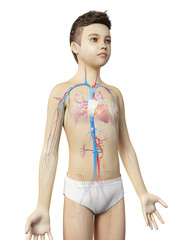 anatomy of a young boy - the vascular system