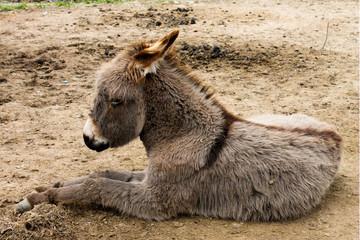 The little burro. Donkey.