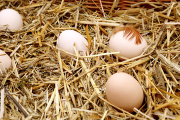 White eggs on the hay