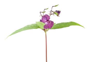 Himalayan balsam, Impatiens glandulifera isolated