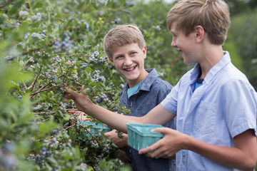 An organic fruit farm. Two boys picking the berry fruits from the bushes.