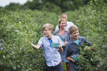 An organic fruit farm. A family picking the berry fruits from the bushes.