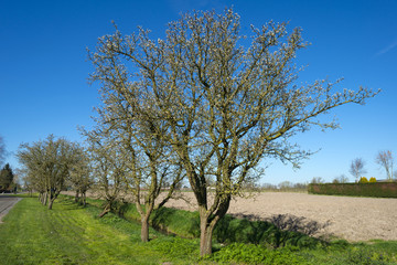 Fruit trees with buds in spring