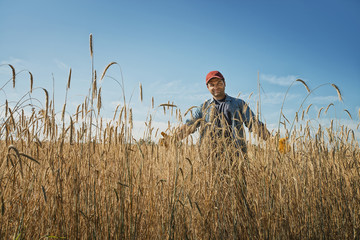 A man standing in a field full of tall ripening wheat or corn stalks crop.