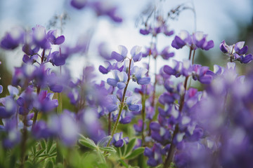 Blooming Lupin wildflowers, close up