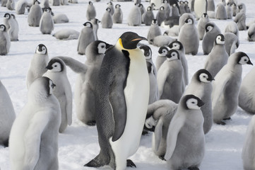 A group of Emperor penguins, one adult animal and a large group of penguin chicks. A breeding colony.