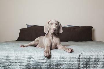 A Weimaraner puppy sitting alert on a bed.