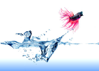 A  Siamese Fighting Fish  jumping out of the water on white