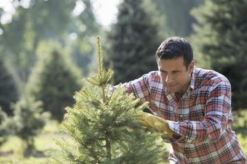 A man pruning an organically grown Christmas tree.