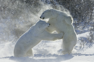Polar bears in the wild. A powerful predator and a vulnerable  or potentially endangered species. Two animals wrestling each other.