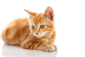 Red little cat