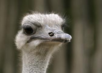 Close-up on a ostrich's head. Ostrich portrait.