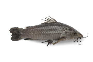 Hoplosternum littorale fish