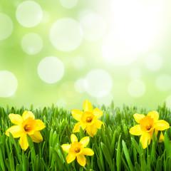 grüne Wiese mit Osterglocken als Hintergrund