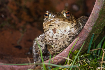 Common Toad (Bufo Bufo) in a plant pot