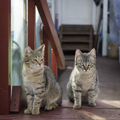 Two gray cat